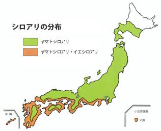 新潟県に生息する「ヤマトシロアリ」